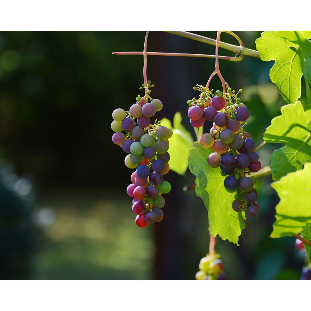 Produkter for bearbeiding av frukt og bær